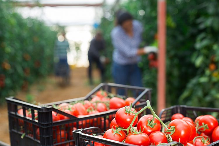 Closeup of freshly picked red ripe tomatoes in plastic boxes in greenhouse against background of busy agricultural workers during harvest
